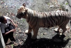 delhi zoo tigar attack (5)