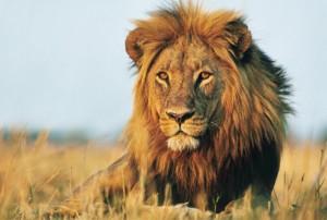 lion_243