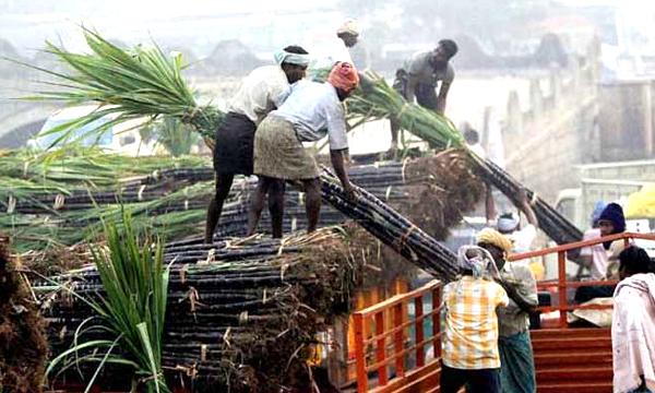 sugarcane farmenr231