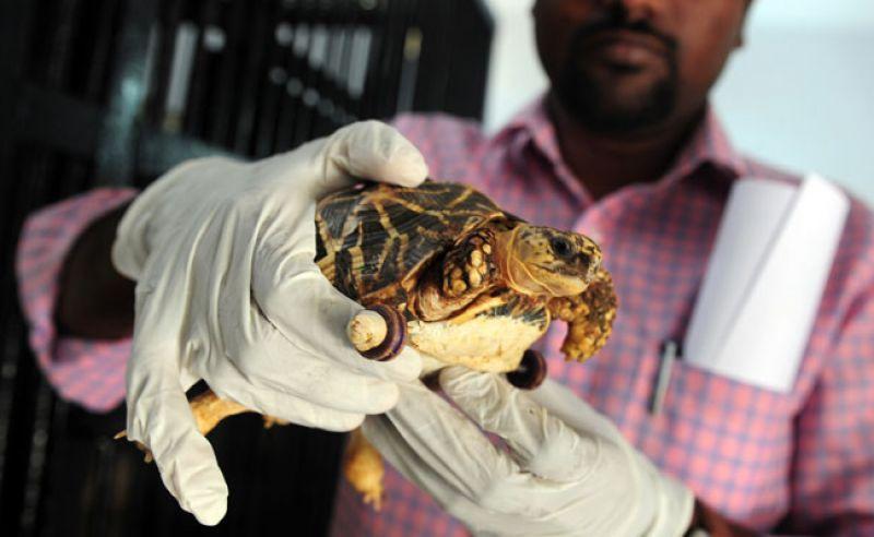 चेन्नईमध्ये एका कासवावर एक आगळीवेगळी शस्त्रक्रिया करण्यात आलीय. दुसर्या एका कासवाच्या हल्ल्यात या कासवानं एक पाय गमावला होता. त्याच्या शरीरावर आता दोन छोटी चाकं बसवण्यात आली आहेत. (AFP)