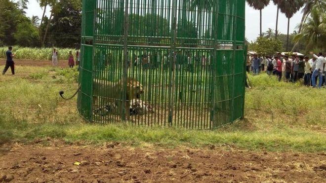 lion_arrest2