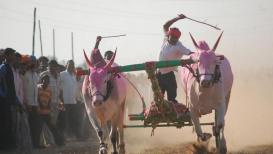 महाराष्ट्रात बैलगाडा शर्यतींचा मार्ग मोकळा