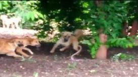 ...पाहा तीन कुत्र्यांनी मिळून नागाला कसं ठार केलं ?